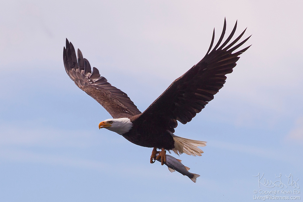 A bald eagle (Haliaeetus leucocephalus) flies with a trout it caught in Pattison Lake near Lacey, Washington. The scientific name of the bald eagle means sea eagle with a white head. While bald eagles are known to eat birds and small mammals, a number of studies conclude that fish make up 60 percent or more of their diets.