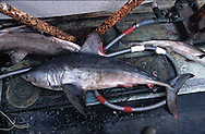 Porbeagle shark, Lamna nasus, caught as bycatch, on the deck of a fishing vessel, Irish Sea, UK.  Porbeagles are considered vulnerable throughout most of their range.  The North-east Atlantic sub-population is considered critically endangered by the IUCN.  Overfishing is considered the main threat to this species.  NOAA considers this porbeagle sharks a depleted species and has dramatically reduced commercial quotas.  Accidental catches, as bycatch, especially by long-liners, is also a significant threat to porbeagles.