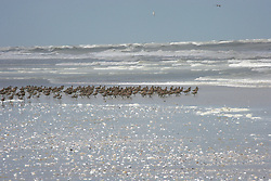 A flock of migratory shore birds on the sand at Eighty Mile Beach on the Kimberley coast.  Every year millions of migratory birds flock to the Kimberley.