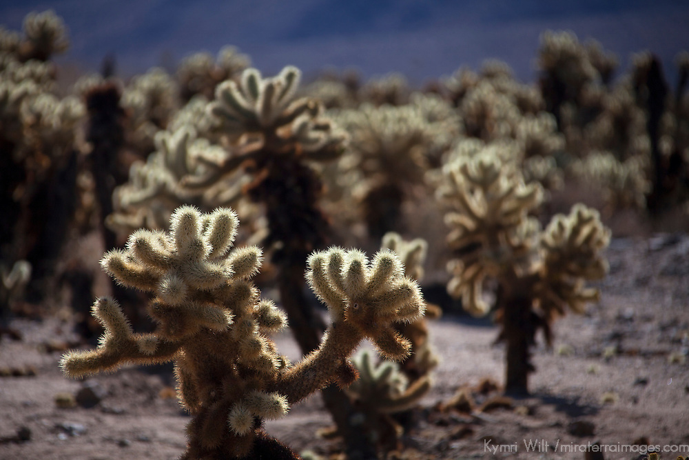 USA, California, Joshua Tree. Cholla Cactus Garden, Joshua Tree.
