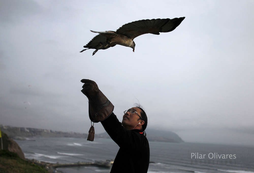 Peruvian Stanley Yep raises his arm up waiting for his red-backed hawk at a paragliding park in Lima October 1, 2010. Yep trains his birds to do parahawking, where the birds fly with paragliders and guide them to the thermals. REUTERS/Pilar Olivares (PERU - Tags: ANIMALS SPORT)
