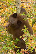 Excellent climbers, black bears often take to the trees to avoid danger or to take advantage of a specific food source; in this case, hawthorn berries.