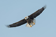 Onondaga Lake Bald Eagles 2014