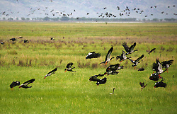 Magpie Geese flock to the east Kimberley's Parry's Lagoon in the wet season.