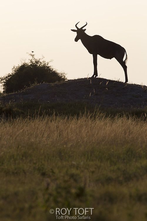 Silhouette of red hartebeest (Alcelaphus busalaphus), Duba Plains, Botswana