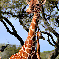 Reticulated Giraffe  at Natural Bridge Wildlife Ranch near San Antonio, Texas<br /> This is my favorite photo of a reticulated giraffe. A large print of this image has hung in my nephew&rsquo;s bedroom since his birth. He now talks about it frequently to his younger brother. This kind of photo opportunity is available all across the 400 acres of the Natural Bridge Wildlife Ranch near San Antonio, Texas. For nearly thirty years, they have offered a wonderful drive-thru experience to see and feed hundreds of spectacular animals.