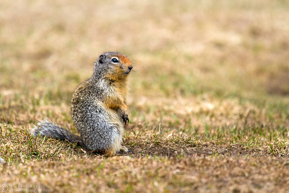 A Columbian Ground Squirrel (Urocitellus columbianus) on sentry duty by its burrow at Manning Provincial Park in British Columbia, Canada
