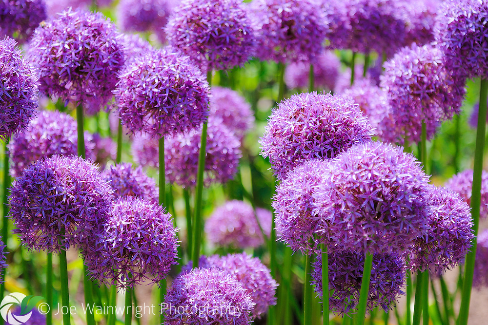 A border planted with alliums make a colourful display in an English garden, photographed in June.
