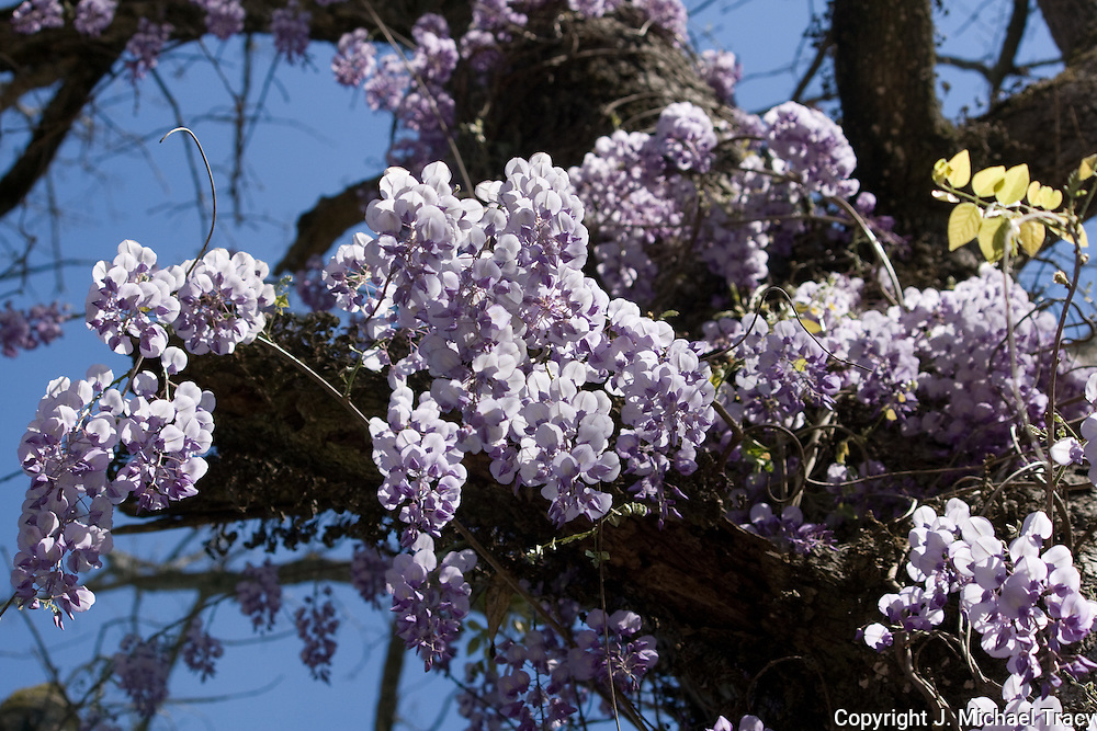 Looking from the ground upwards at some beautiful bunches of lavender wisteria hanging from an oak tree.