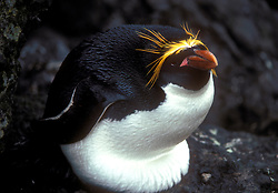 Antartica O pinguim-macaroni (Eudyptes chrysolophus) habita a regiao subantartica, desde o sul das ilhas Shetland do Sul as ilhas Kerguelen . Alimenta-se principalmente de crustaceos, mergulhando a profundidades de 20 a 80 metros para os cacar. A sua populacao total em liberdade esta estimada para ser maior do que 11 000 000 de casais (22 000 000 de individuos) , mas este numero esta com uma certa tendencia para aumentar./The Macaroni Penguin (Eudyptes chrysolophus) is a species of penguin closely related to the Royal Penguin It is a black and white penguin with yellow and black plumes on the top of its head. It generally lays two eggs, eating the first. Its vital statistics are around 4.5 kg and 45-55 cm tall. It eats squid, krill and other crustaceans. The egg hatches around 34 days after it is laid. Foto:Christiana Carvalho/Argosfoto