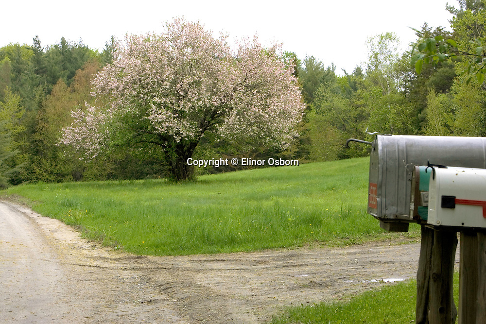 Apple tree blooming along country road