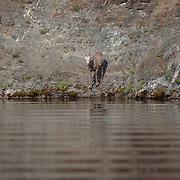 Mountain Sheep, Montana