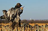 Sandhill Crane Hunting Stock Photos