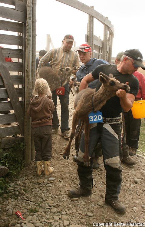 Reindeer herding. Sørsamisk reindrift i Saanti Sijte (Essand reinbeitedistrikt).