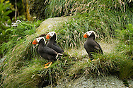 Trio of Tufted Puffins Perched on Cliffside, Alaska Maritime National Wildlife Refuge Near Lake Clark National Park, Alaska