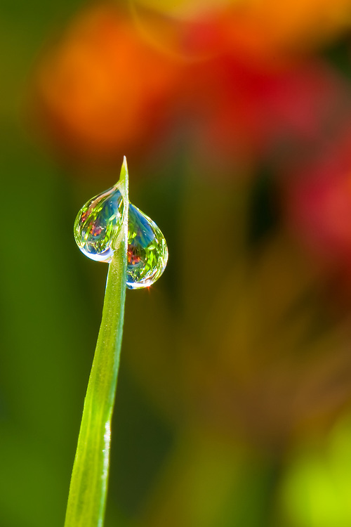 Early mornings after the Sausalito fog can produce lovely drops of dew which can perfectly reflect the image of a colorful flower behind it.