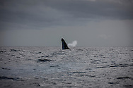 Megaptera novaeangliae (Humpback Whale) off the coast of the Vava'u Island group in the Kingdom of Tonga..Thursday 30 August 2012..Photograph Richard Robinson © 2012.
