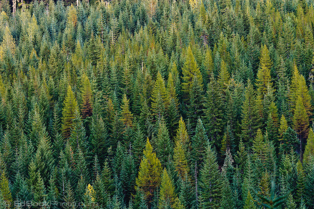 Coniferous forest of Noble Fir, Silver Fir, and Western Larch (Tamarack) in the Gifford Pinchot National Forest near Mt Adams, with Noble Fir, Silver Fir, and Tamarack trees, Washington state, USA