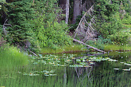 A fallen tree and yellow pond lilies along the shore of Flower Lake at Mount Seymour Provincial Park in North Vancouver, British Columbia, Canada