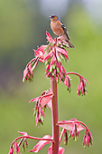 Chaffinch Pictures - Photos
