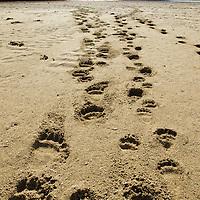 USA, Alaska, Katmai National Park, Footprints from Grizzly Bear Spring Cubs (Ursus arctos) left in sand along tidal flats lining Kinak Bay