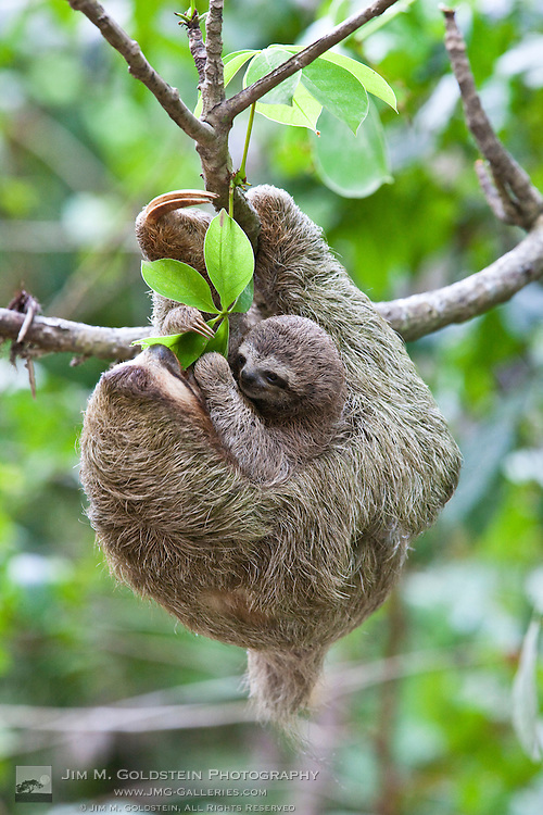 A Brown-throated Sloth and her baby eat leafs while displaying their distinctive three tows - Corcovado National Park, Costa Rica
