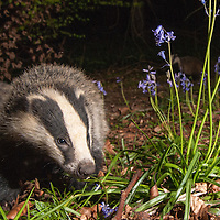 Badgers. Wytham woods.