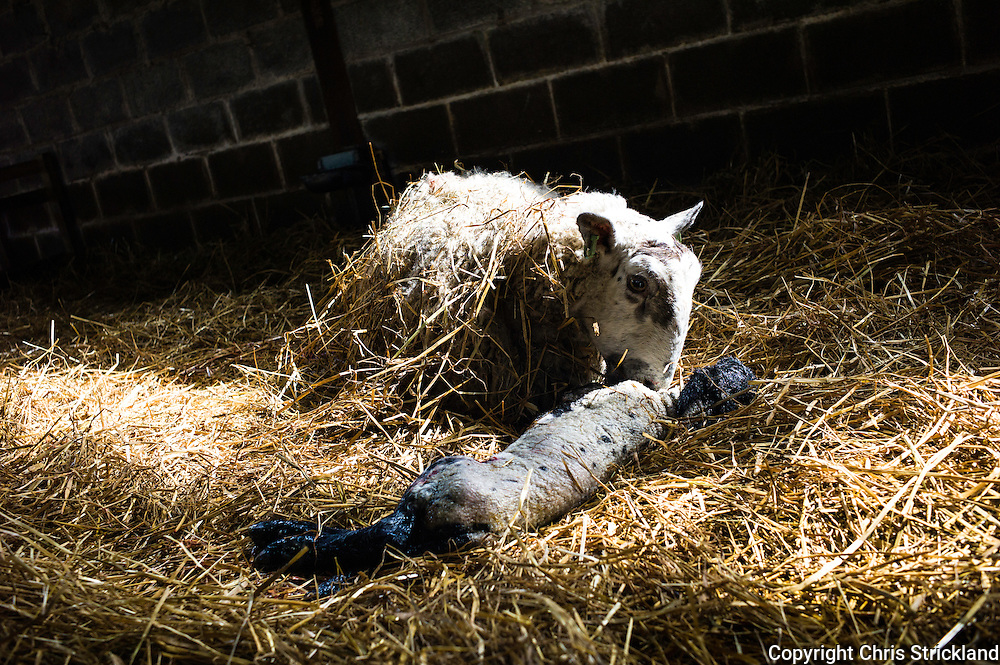 Falside, Chesters, Jedburgh, Scottish Borders, UK. 10th April 2015. Grey face ewes and Suffolk cross lambs in a lambing shed on Falside Farm near Jedburgh in the Scottish Borders.