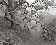BW01923-00...CALIFORNIA - Oak trees in the fog on Figueroa Mountain , Los Padres National Forest.