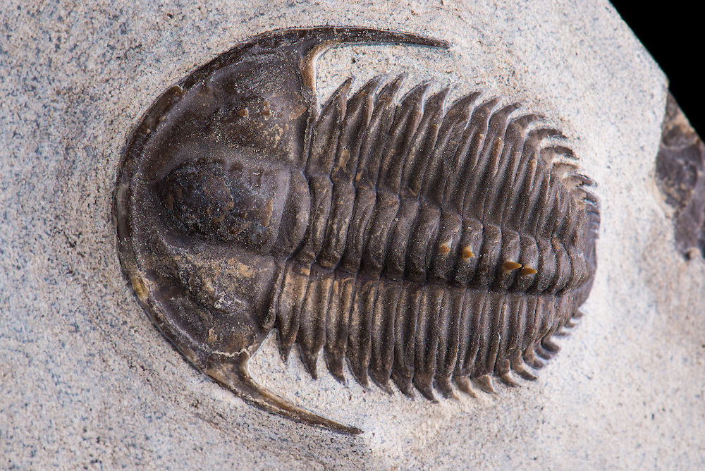 Bergeroniellus spinosus (sagittal length: 40mm) is an extremely rare Lower Cambrian (Botoman) ptychopariid trilobite from the Achchagy-Tuoydakh Lagerstatte in Siberia. The spines have been reconstructed.