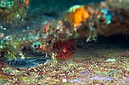 Rough Fileclam, Oro Verde, Shipwreck, Grand Cayman