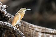 Squacco Heron,Chobe River, Kasane, Botswana.