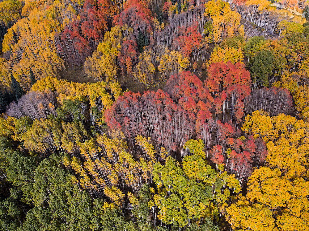 Fall colors in Kebler Pass, Colorado, the home to the largest living organism in the world: a huge mass of connected aspen tree clones. #panorama