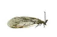 Spring Fishfly (Chauliodes rastricornis)<br /> ALABAMA: Tuscaloosa Co.<br /> Tulip Tree Springs off Echola Rd.; Elrod<br /> 10-April-2016<br /> J.C. Abbott #2794 &amp; K.K. Abbott