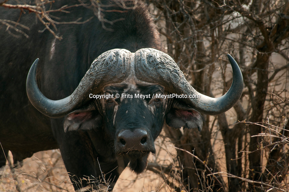 Kruger National Park, Mpumalanga, South Africa, september 2011. A buffalo bull looks suspiciously at his observers as he protects the herd. Bordered by Mozambique and Zimbabwe, Krugerpark is about 65km wide and 350km long. It is south Africa's largest National Park and one of the world's best known nature conservation areas. From your own vehicle, on tarmac and dirt roads, you can get up close and personal experiences with the enormous wildlife diversity. Photo By Frits Meyst/Adventure4ever.com.