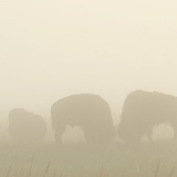 Bison sparing in the fog on the Great Plains of Montana at American Prairie Reserve. South of Malta in Phillips County, Montana.