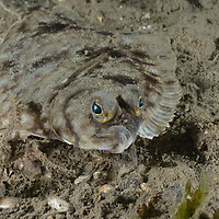 A Flounder at Cove Two, Seattle, WA.