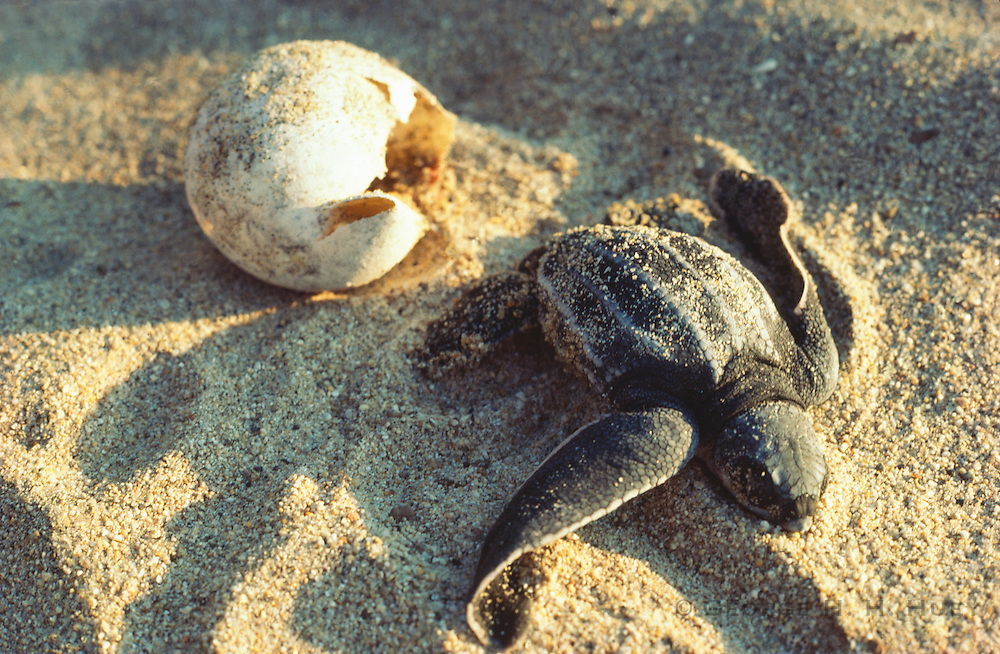 356101-1149 ~ Copyright: George H. H. Huey ~ Leatherback hatchling [Demochelys schlegeli] emerging from egg on surface (not in natural underground nest). Michoacan, Mexico.