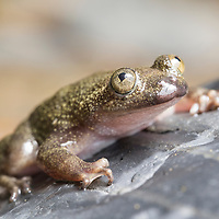 Philippine Flat-headed Frog, Barbourula busuangensis, an endangered species from Palawan