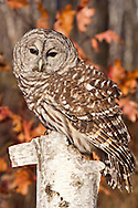 Barred Owl, Strix varia, native to Canada, eastern United States to Central America