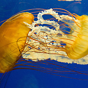 "Pacific sea nettle, or Ortiga de mar (Chrysaora fuscescens), Oregon Coast Aquarium, Newport, Oregon, USA. Although commonly named ""jellyfish,"" jellies are plankton, not fish. Jellies (class Scyphozoa) lack the backbone (vertebral column) found in fish. Jellies have roamed the seas for at least 500 million years, making them the oldest multi-organ animal. A sea nettle hunts by trailing long tentacles covered with stinging cells to paralyze tiny plankton and other prey. Stung prey is moved to the frilly mouth-arms and on to the jelly's mouth."