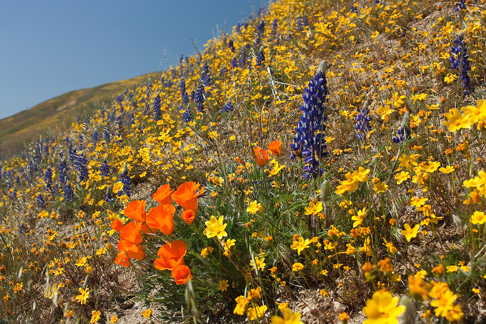 Poppies and wildflowers near Gorman, California