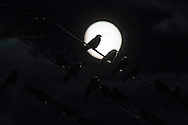 Crows perch on utility wires with the nearly-full moon in the background in Middletown, New York. The full moon of November, known as the Beaver Moon, will rise on Nov. 25, 2015.