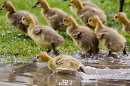 Middletown, New York  - Canada goose goslings run to follow their parents at Fancher-Davidge Park on May 4, 2016.