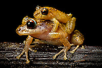 Two rain frogs, Pristimantis sp., in amplexus