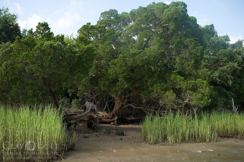 Gnarled Cedar and Spartina Grass on shore of Jeremy Island, McClellanville, SC. This is where several oyster castles -a type of artificial reef- has been constructed by The Nature Conservancy.