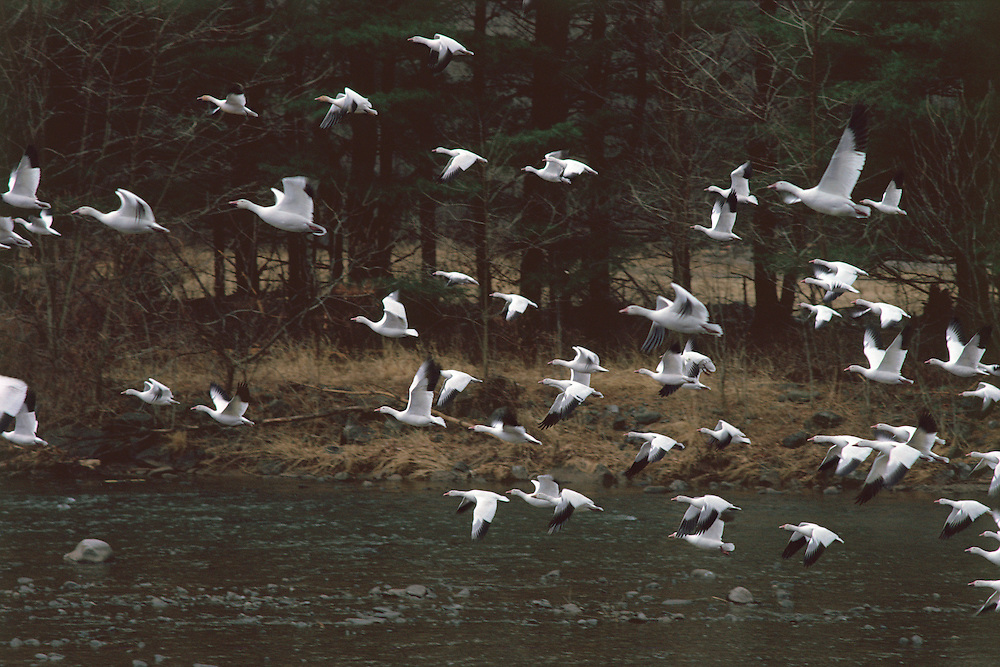 Snow Geese,Catskill Park, , Esopus Creek, New York, Hudson River Valley
