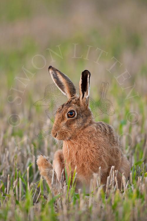 European Hare (Lepus europaeus) adult cleaning itself in stubble field, Norfolk, UK.