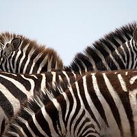 Africa, Kenya, Masai Mara Game Reserve, Close-up image of Plains Zebra (Equus burchelli) standing together on savanna