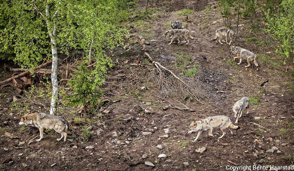 Ulv, Canis lupus, Namsskogan familiepark i Nord-Trøndelag.